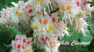 Flor de Bach White Chestnut