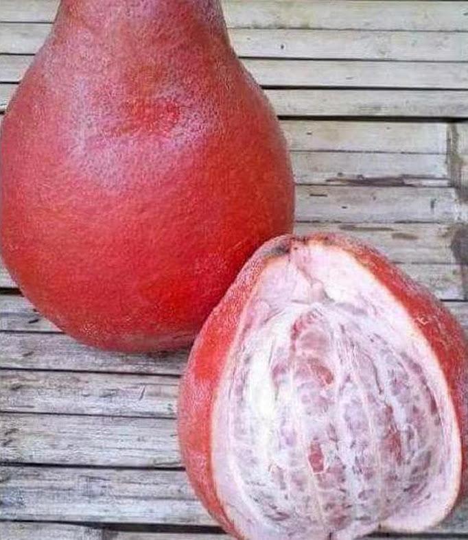 Asli Bibit Tanaman Buah Jeruk Red Pamelo Thailand Terbaik Kalimantan Barat