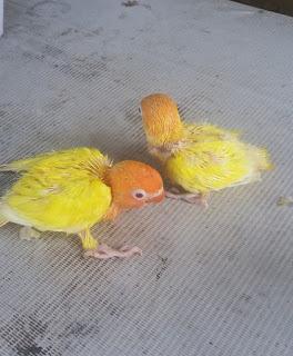 cara merawat anakan lovebird lutino