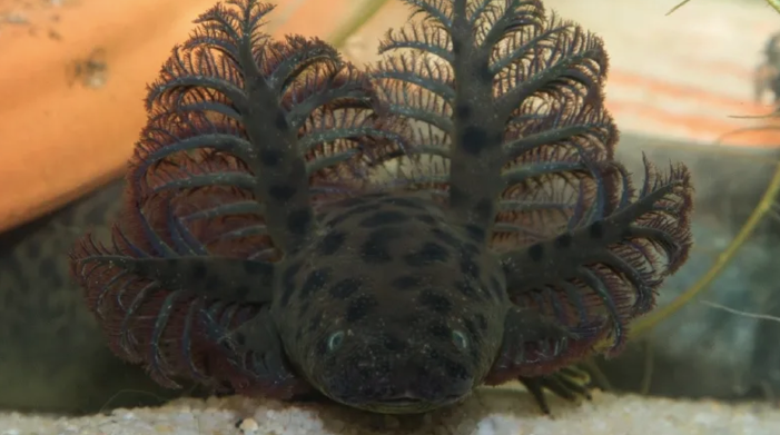 Scientists Discover Giant Leopard-Spotted Salamander Living In Florida