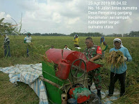 Serda Rudi Harianto Babinsa Koramil 10/SR Bantu Panen Padi Wujudkan Ketahanan Pangan