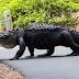 Woman spots 12-foot-long alligator in South Carolina