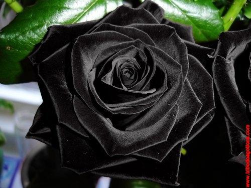 rosa preta fotos raridade imagens fotos
