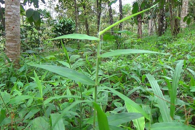 Dlium Japanese stiltgrass (Microstegium vimineum)