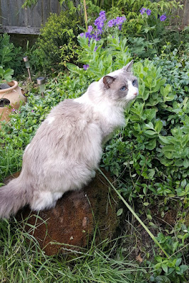 Merlin ragdoll cat