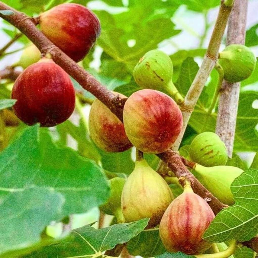 Tanaman buah tin jenis sangat produktif RED JERUSALEM fresh cangkok Jawa Timur