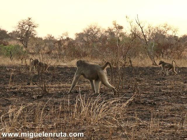 Babuinos-Satara-Kruger