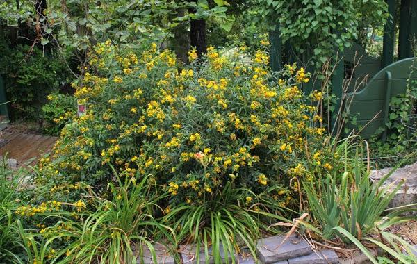 Jim Long S Garden St John S Wort In The Landscape