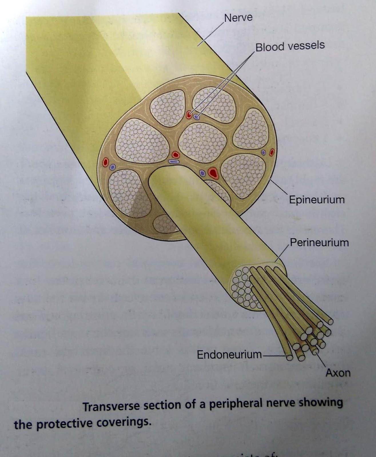 Human Anatomy Peripheral Nervous System