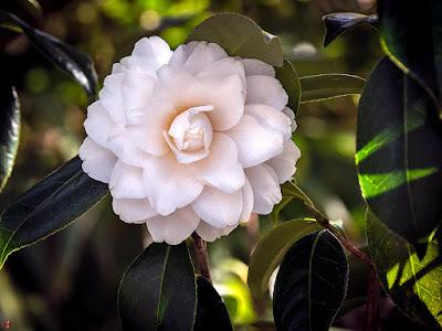 Shirasumi-tubaki (White bright camellia) flower: Tokei-ji