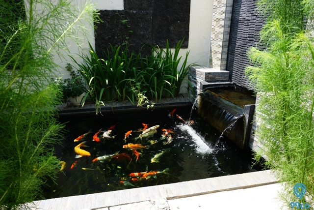 Membuat Kolam Ikan Koi Minimalis