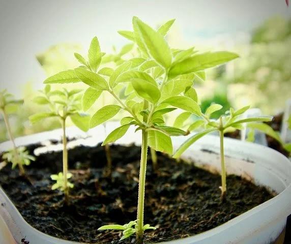 Teknik membudidayakan tanaman Daun sirih