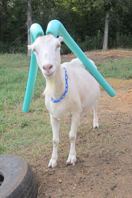 This goat wearing pool noodles