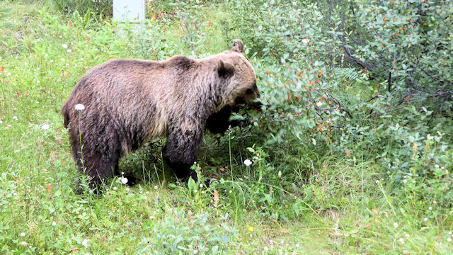 Grizzlybär in Kanada (C) Kundenfoto
