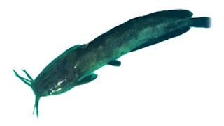 Jenis dan Ciri Morfologi Ikan Konsumsi