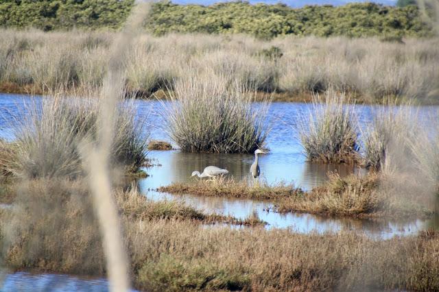 Warringine Wetlands, Hastings grey egrets