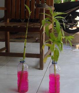 Praktikum menunjukkan faktor yang mempengaruhi pengangkutan air pada tumbuhan