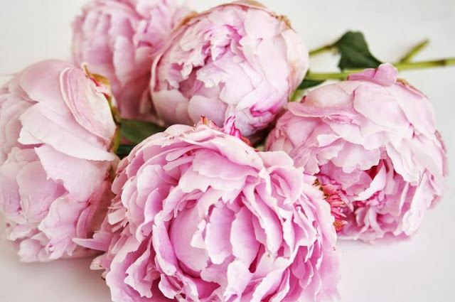 amazing pink peonies