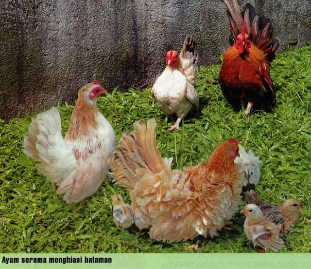 Serangan Virus Pada Pembiakan Ayam Serama