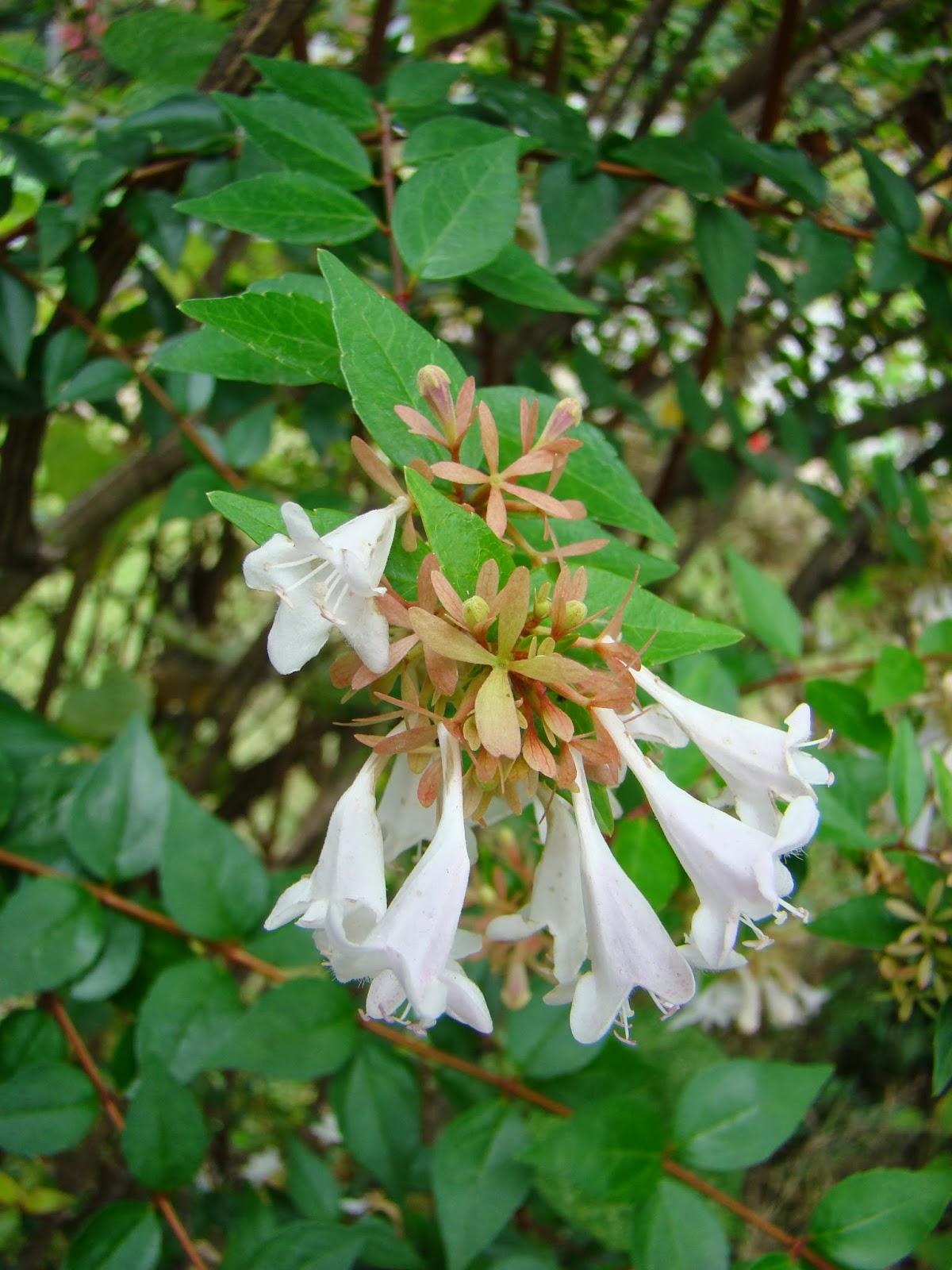 Georgia Market Bulletin Blog Arty S Garden Plant Glossy Abelia For Its Abilities