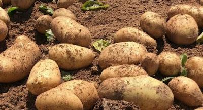 Εξετάζονται οι περιπτώσεις παραγωγών πατάτας και καρπουζιού που υπέστησαν ζημιά από την πανδημία