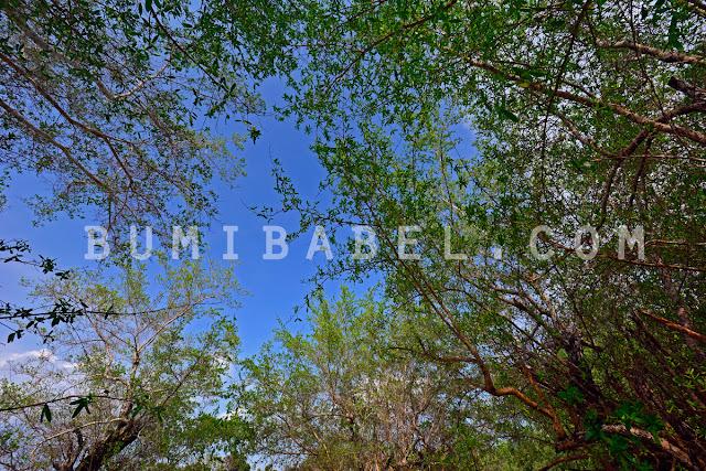 daun-pohon-mentigi-di-pulau-bangka