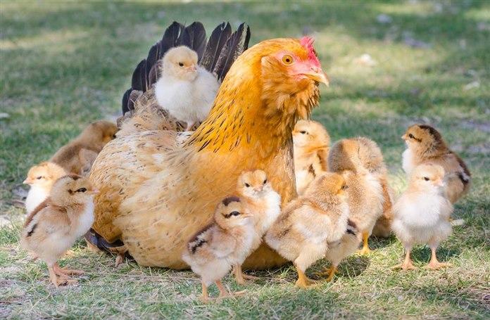 Kuluçkaya yatan tavuk civcivleri ne zaman bırakır?
