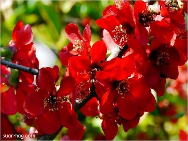 صور ورد - ورد احمر 9 | Flowers Photos - Red Roses 9