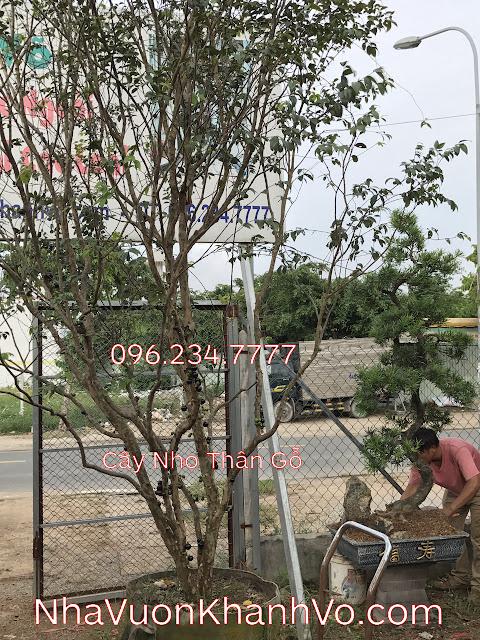 Đăng tin rao vặt: Bán cây giống nho thân gỗ chất lượng Cay-nho-than-go-khanh-vo-5