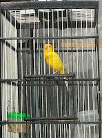 budidaya burung kenari