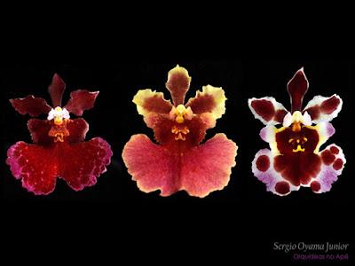 Orquídeas Tolumnia híbridas