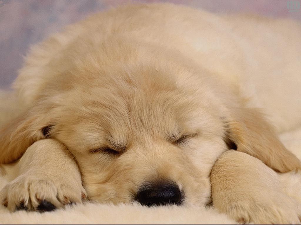 High Definition Wallpapers: Dog Wallpapers