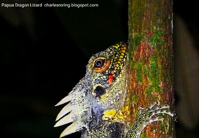 Night walk tour in Susnguakti forest can be done to watch marsupial animals and nocturnal reptile of New Guinea.