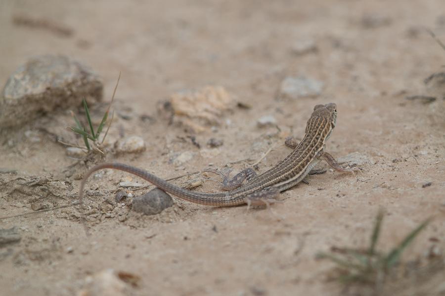 Snake-tailed Fringe-toed Lizard - Acanthodactylus opheodurus