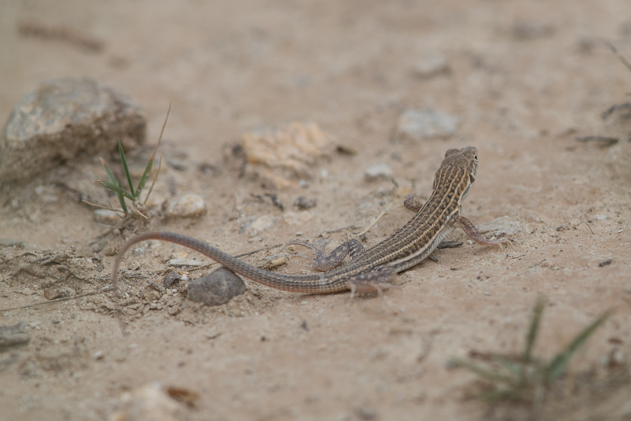 Snake-tailed Fringe-toed Lizard – Quraish