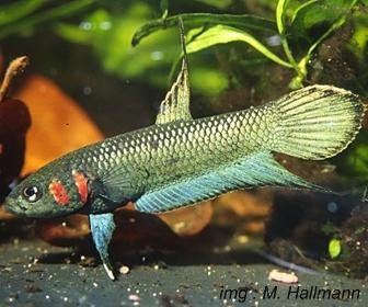 Jenis Ikan Cupang Spesies Betta Mandor