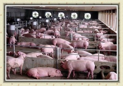 How To Start Pig Farming In Kenya (Step By Step Guide)