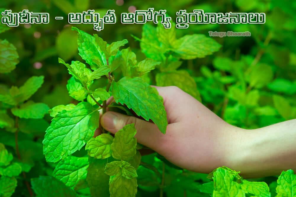పుదీనా - అద్భుత ఆయుర్వేద ఆరోగ్య ప్రయోజనాలు - Pudina, Mint - Amazing Ayurvedic Health Benefits