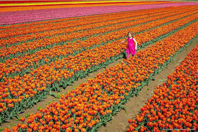pole tulipanów w Cedrach Wielkich