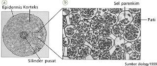 Amiloplas pada sel parenkim