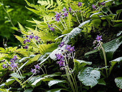 Iwatabako (Conandron ramondioides) flowers: Tokei-ji