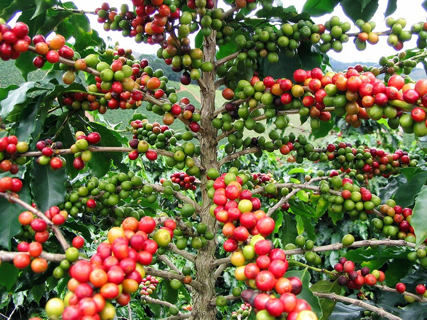 Do You Know What Your Favorite Foods Look Like While Growing - And here are coffee beans (the second-most sought after commodity in the world).