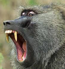How to save yourself when you have an Encounter With a Baboon