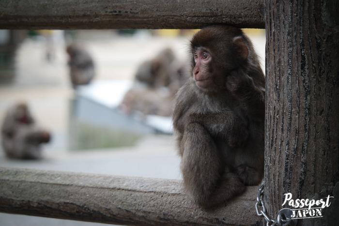 Macaque assis sur une barrière en bois, parc Takasakiyama, Oita