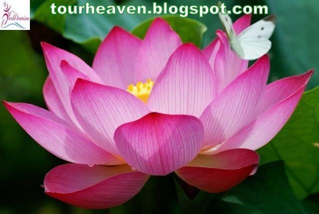 India National Symbols 7national Flowerlotus