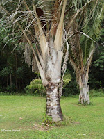 Palm tree and dried fruits - Ho'maluhia Botanical Garden, Kaneohe, HI