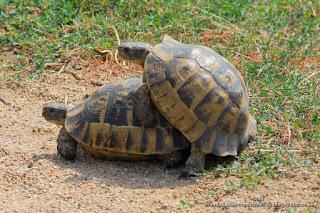 apareamiento tortuga mora