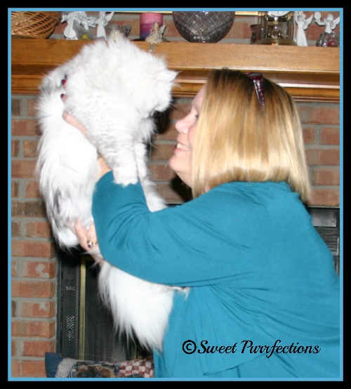 human holding silver shaded Persian cat in the air