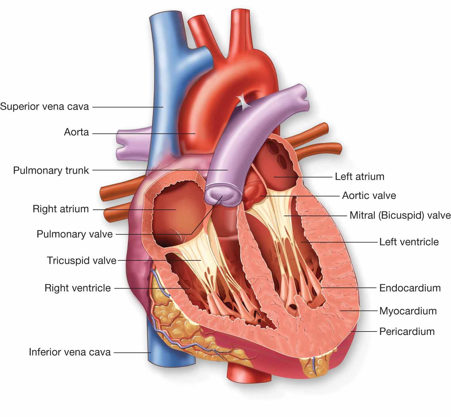 Information About Human Body The Heart