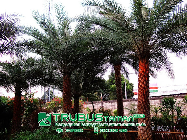 Tukang Taman Jakarta-jenis pohon palm